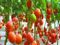 大棚西红柿种植技术